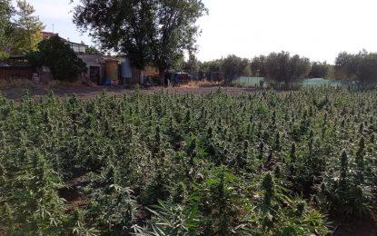 Scoperta e sequestrata grossa piantagione di marijuana a San Marco in Lamis: arrestato il detentore