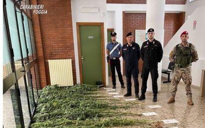 Scoperta grande piantagione di cannabis a San Nicandro Garganico: arrestato il coltivatore