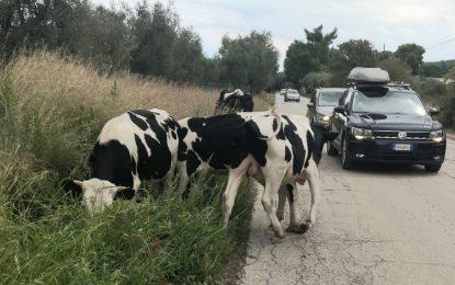 Vieste, mucche in strada causano incidente: sequestrati 4 bovini