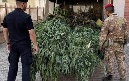 Droga a San Nicandro Garganico: scoperte piante di marjuana in essiccazione dentro un ovile