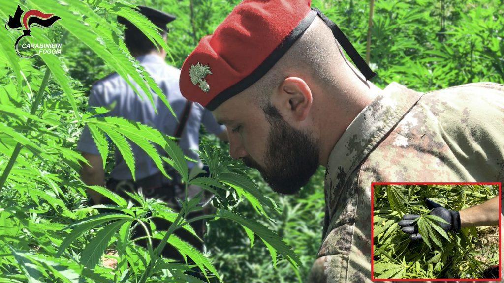 piantagione di marijuana a Vico del Gargano